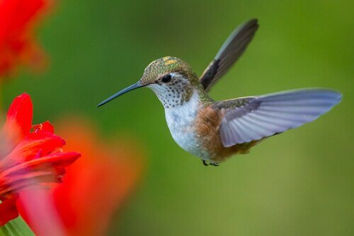 Scopriamo l'affascinante vita del colibrì