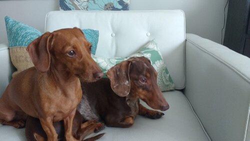 coppia di bassotti sul divano