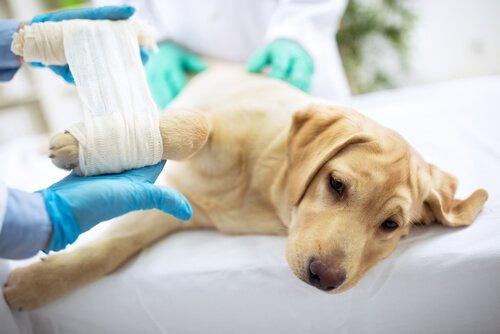 Cagnolino bianco bendato in sala dal veterinario