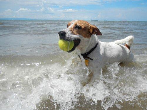 Cagnolino corre in mare con palla da tennis tra i denti