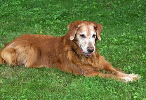 cane anziano sdraiato nel prato