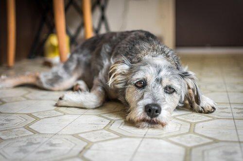 cane sdraiato triste sul pavimento