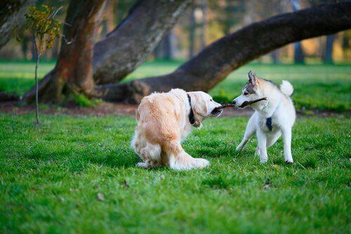 Cani che litigano per il bastone
