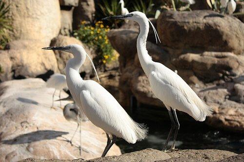 Airone cenerino: caratteristiche, comportamento e habitat