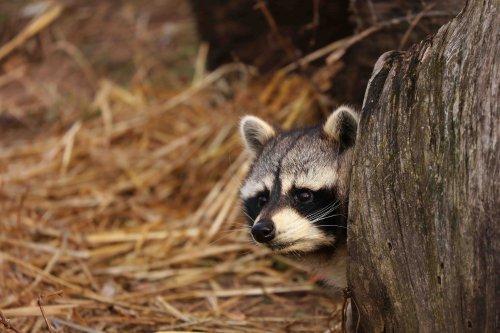 Procione: caratteristiche, comportamento e habitat