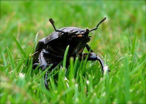 Il cervo volante: lo scarabeo europeo più grande