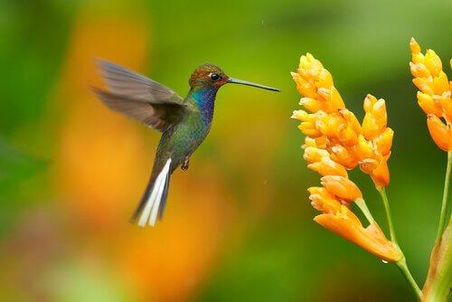 colibrì che becca fiore
