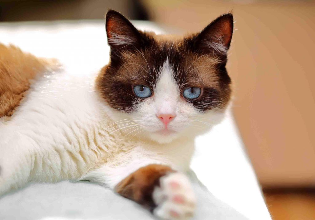 Conosciamo insieme il gatto Snowshoe