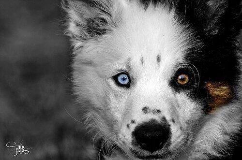 Cucciolo con occhi di colore diverso