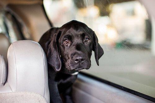 cucciolo color nero in macchina