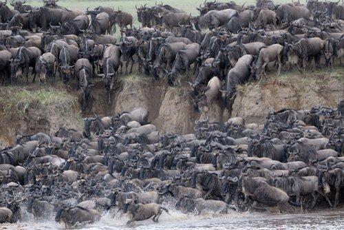 La grande migrazione nel Serengeti