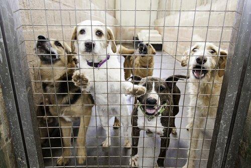 dei cani malnutriti chiusi in gabbia