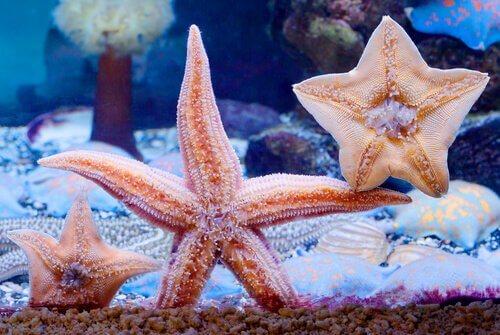 delle stelle marine in un acquario domestico