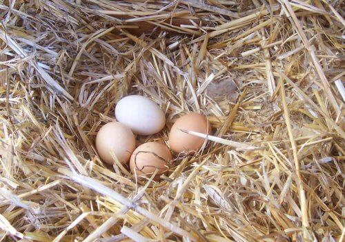 delle uova deposte in un nido