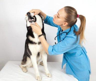 dentista veterinaria osserva i denti di un cane