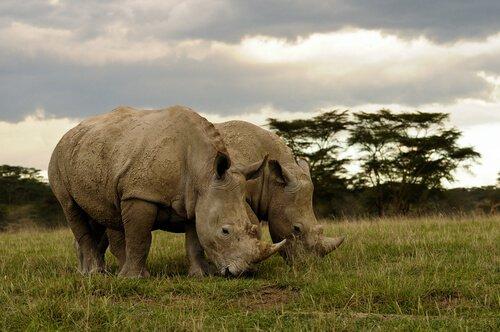 due Rinoceronti brucano erba nella savana