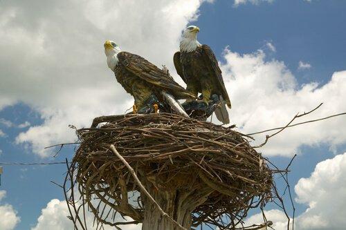 due aquile reali in piedi sul loro nido
