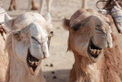Differenze tra cammelli e dromedari che dovete conoscere