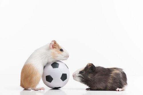 due criceti grandi con un pallone