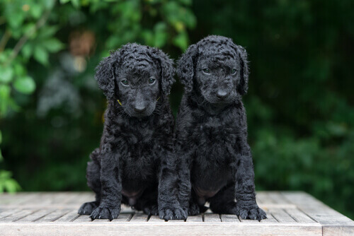 Cuccioli di Curly Coated Retriever