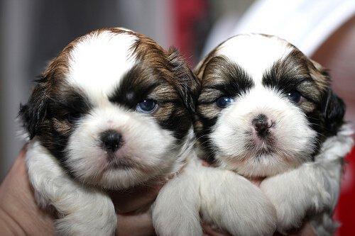 due cuccioli bianchi e marroni