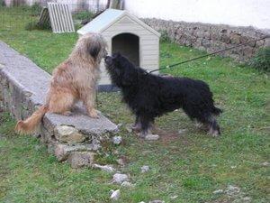 due esemplari Cane da pastore catalano davani alla cuccia
