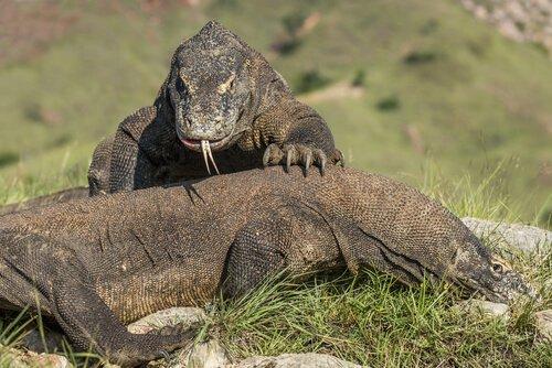 due esemplari di Drago di Komodo in un parco