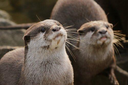 Lontra: caratteristiche, comportamento e habitat