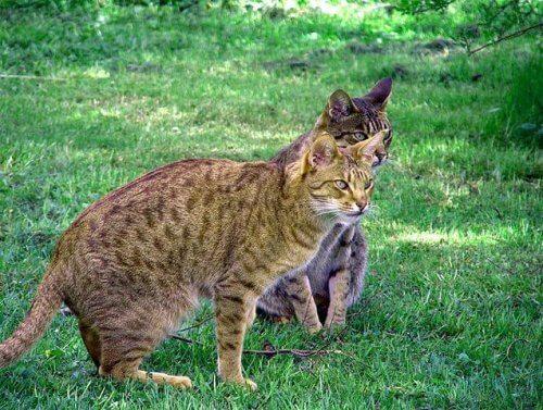 Gatto ocicat, un piccolo felino dall'aspetto selvaggio