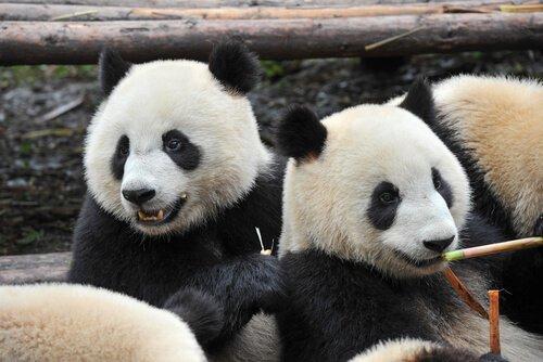 due orsi panda appoggiati assieme