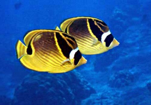 due pesci nuotano assieme nel mare