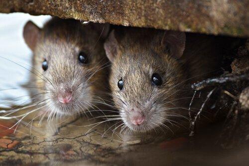 due topi in un buco