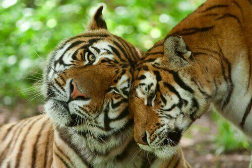 due tigri si coccolano a vicenda