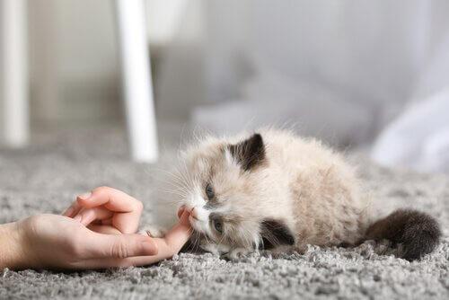 I primi giorni di un gatto a casa: come gestirlo?