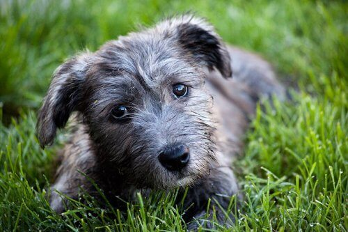 Irish Glen of Imaal terrier sul prato