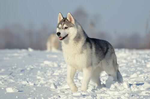 Cani del gruppo 5: classificazione della FCI