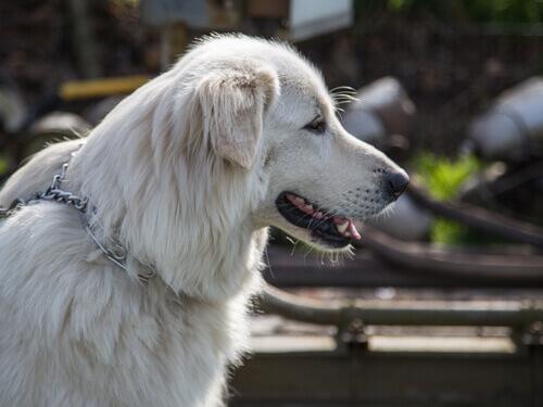il profilo di un Cane da montagna dei Pirenei adulto