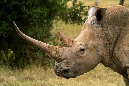 il profilo di un rinoceronte adulto