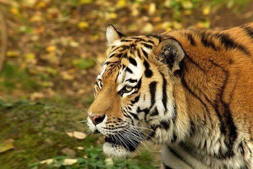 il volto di profilo di una tigre del bengala in fase di caccia
