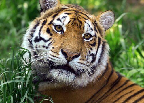 tigre nella giungla