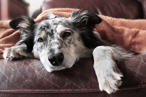 L'influenza nei cani: sintomi e trattamento