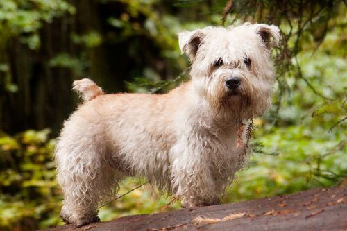 Irish Glen of Imaal terrier: scopriamolo assieme