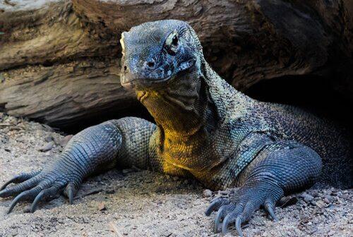 la testa di un Drago di Komodo sbuca da una tana