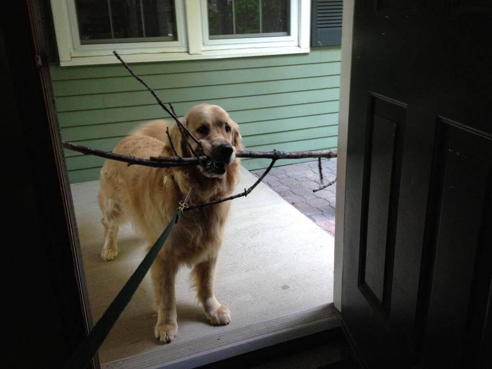 Labrador con molti rami in bocca non riesce a entrare in casa