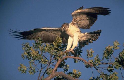 l'aquila marciale mentre atterra con gli artigli su di un albero