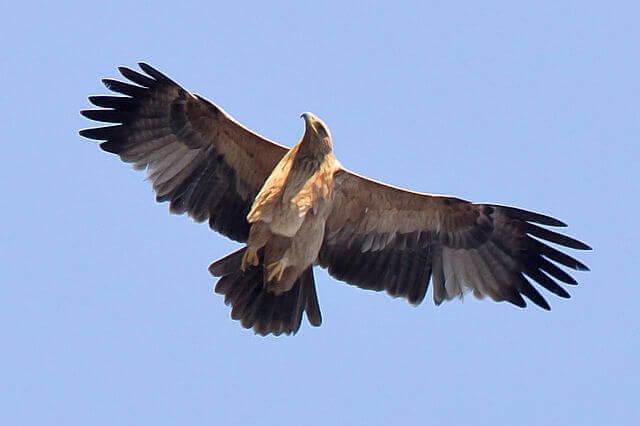 apertura alare di un'Aquila imperiale in volo