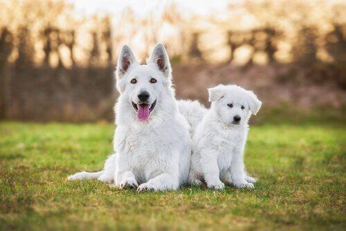 mamma e cucciolo di Pastore svizzero bianco sdraiati in giardino