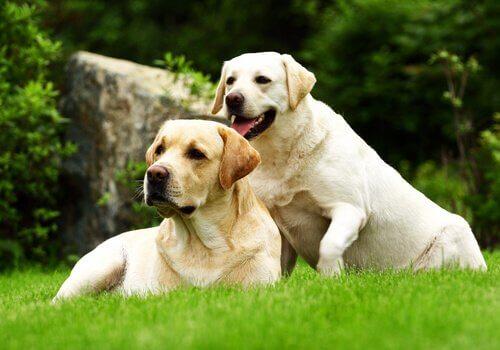 due Labrador panna sul prato