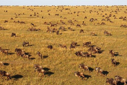 migliaia di gnu nel Serengeti
