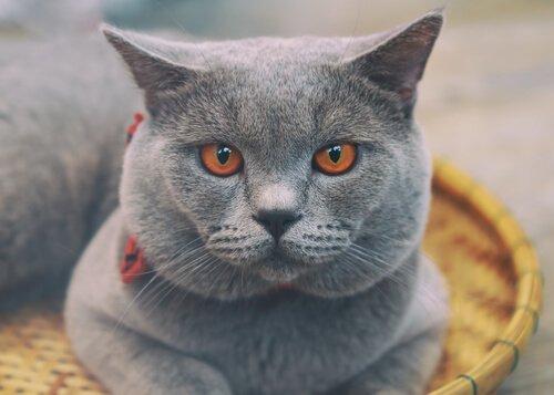 Tutto sul gatto Certosino francese